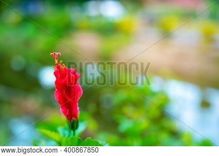Hibiscus Flower (disambiguation),  Hibiscus Syriacus, And Hibiscus Rosa-sinensis, Flower On Blurred
