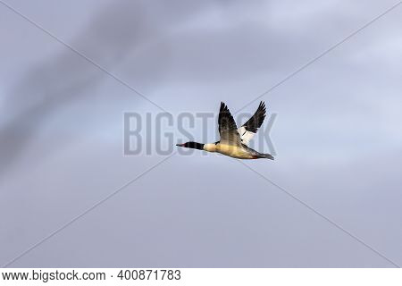 Common Merganser In Flight, Bird During Migration To South