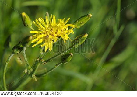 Sonchus Arvensis, Perennial Thistle, Corn Thistle, Reed, Field Milk, Pig Or Thistle, Yellow Dandelio