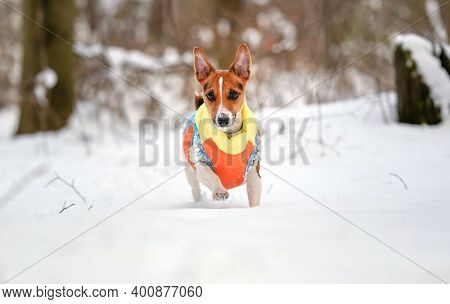 Jack Russell Terrier Walking In Deep Snow Covered Field Towards Camera, Wearing Winter Warm Clothes