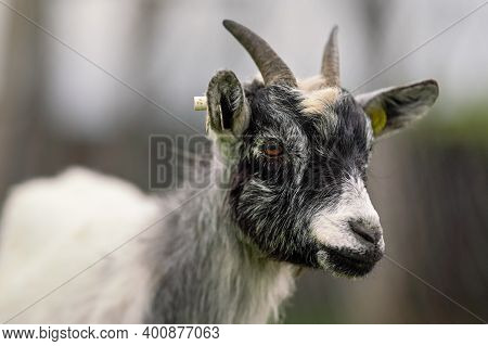 White And Black American Pygmy Cameroon Goat Closeup Detail On Head With Horns