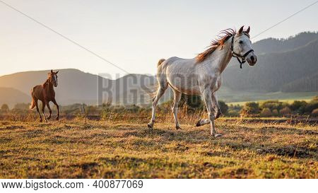 White Arabian Horse Running On Grass Field Another Brown One Behind, Afternoon Sun Shines In Backgro