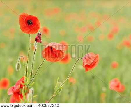 Wild Red Poppy Flowers Growing In Green Field Of Unripe Wheat, Close Up Detail On Bright Petals Cove