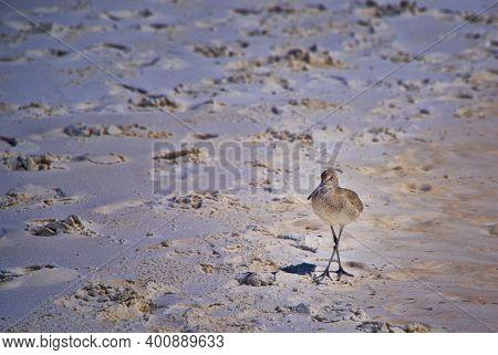 A Willet Bird On Destin Beach, In The Panhandle Of Florida