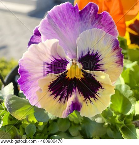 Colored Viola Flower In Garden. Natural Photo