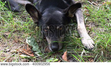 Senior Dog Lays On Ground With Paw Among Green Grass. Shepherd Dog Head With Big Ears And Sad Glance