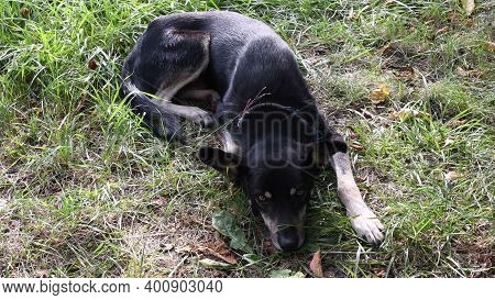Shepherd Dog Moves Ears And Itchy Because Of Fleas. Sad Glance Dog Suffering From Parasites. Pet Hea