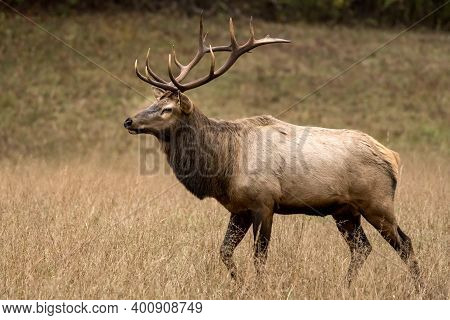 Strutting Bull Elk In Dry Field Of Great Smoky Mountains
