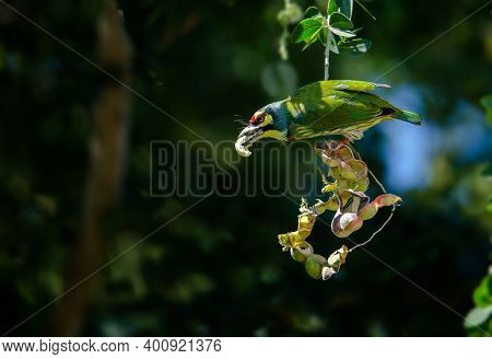 Golden Bird Or Coppersmith Barbet A Golden-tailed Bird Eating A Tamarind