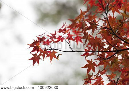 Close Up Of Yellow Maple Leave  During Autumn Season In Japan, Natural Landscape Background.