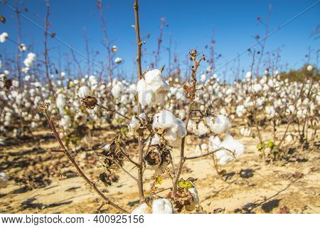 White Cotton Plants On A Cotton Farm Close Up In Rural Georgia During The Fall