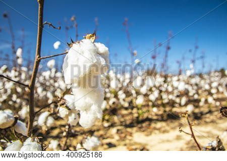 White Cotton Plants On A Cotton Farm Isolated Close Up In Rural Georgia During The Fall