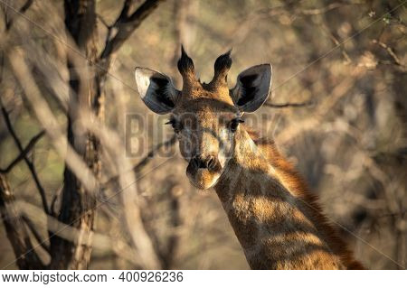 Close-up Of Southern Giraffe Staring In Trees