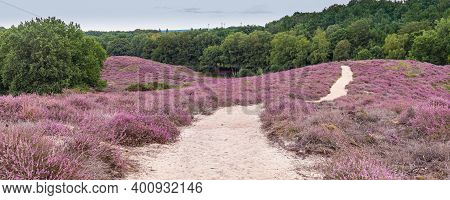 Hills With Purple Blooming Heather In Nature Park Veluwe, Posbank, Gelderland In The Netherlands