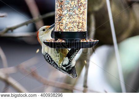 Yellow-bellied Woodpecker hanging on bird feeder