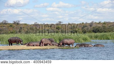 Wild Hippos Rest On The Island And In The Water Of The Zambezi River. A Herd Of Uneven-aged Hippos S