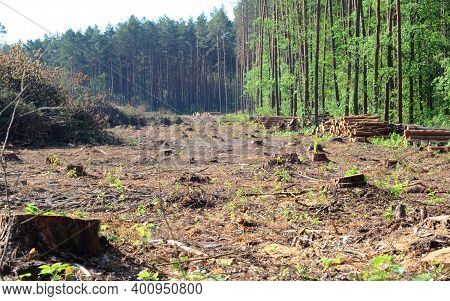 Deforestation, Clearcut Logging Area Of Pine Forest With A Lot Of Tree Stumps And сut Down Trees Wha