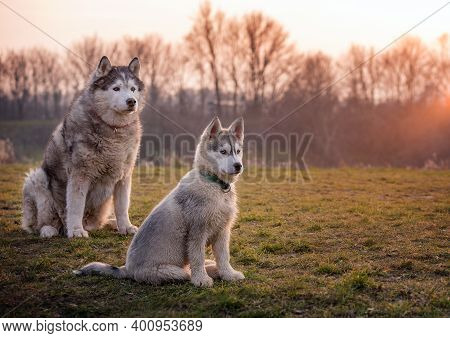 Baby Husky Is Sitting In The Meadow With His Grandfather. Old Gray Black White Husky. Sweet Baby Hus