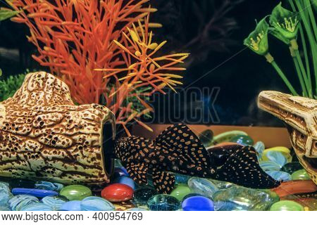 Ancistrus Common. Sucker Cleaner Fish In Aquarium. Female Catfish Near Hollow Driftwood.
