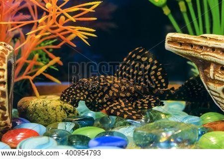 Ancistrus Common. Sucker Cleaner Fish In Aquarium. Female Catfish.