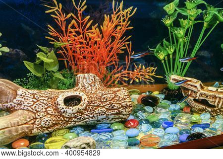 Aquarium With Domestic Neon Fishes And Ancistrus Sucker Cleaner Fish In Hollow Driftwood