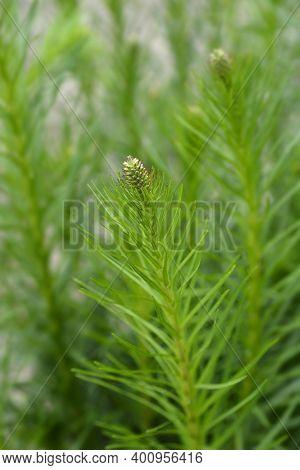 Prairie Blazing Star Flower Bud - Latin Name - Liatris Pycnostachya