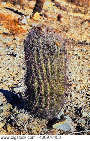 Barrel Cactus, Ferocactus Wislizeni Cactaceae Also Known As Arizona, Fishhook, Candy Or Southwestern