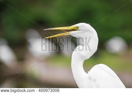 Close up shot of Great Egret bird
