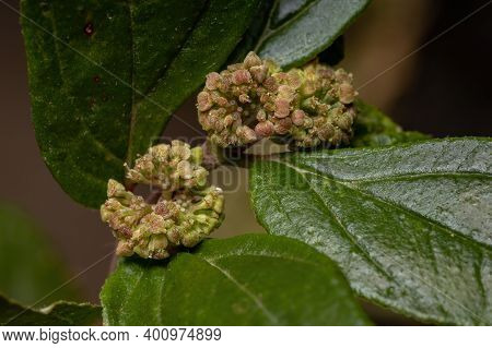 Flower Of A Asthma Plant