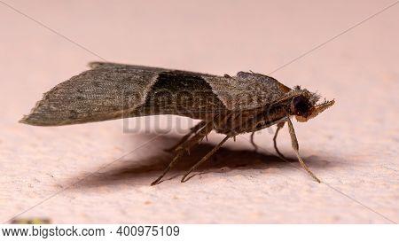Adult Hypenine Snout Moth