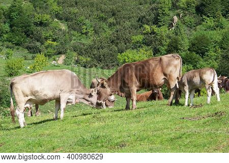Two Oxen Effusions In The Green Meadows Of A Mountain Pasture, Animals And Nature In A Rural Image