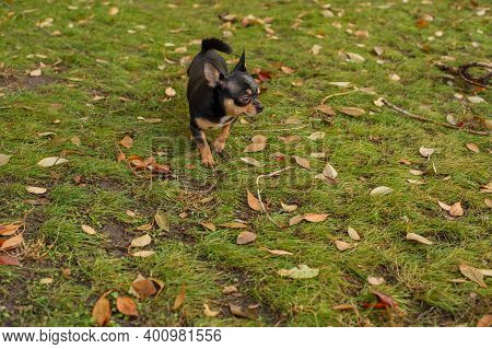 Dog. Chihuahua Dog For A Walk. Chihuahua Black. Dog In The Autumn Walks In The Garden Or In The Park