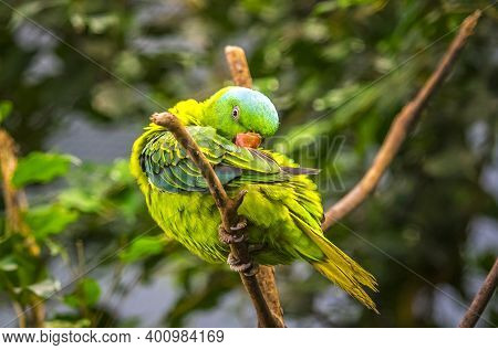 Blue-naped Parrot (tanygnathus Lucionensis), Also Known As The Blue-crowned Green Parrot, Luzon Parr
