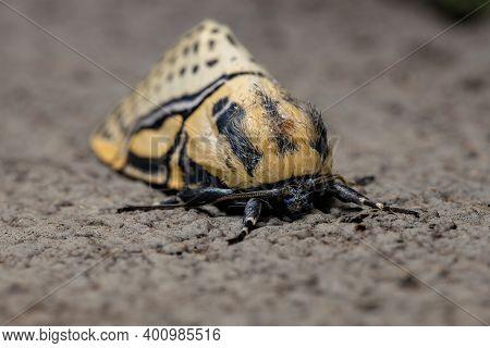 Adult Hieroglyphic Moth