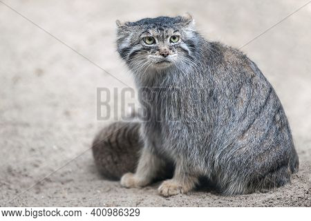 Pallas's Cat (otocolobus Manul). Manul Is Living In The Grasslands And Montane Steppes Of Central As