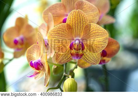 Floral Concept. Orchid Growing Tips. How Take Care Of Orchid Plants Indoors. Most Commonly Grown Hou