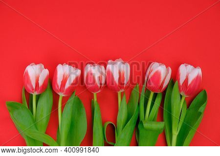 Tulips Flowers.red-white Tulips On A Red Background.spring Flowers Background.flower Card. Blank Pos