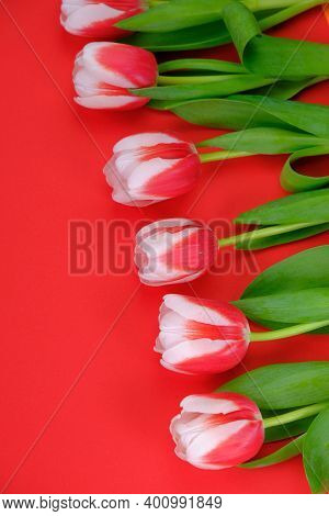 Tulips Flowers.red White Tulips On A Red Background.spring Flowers Background.flower Card. Blank Pos