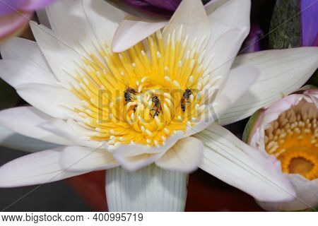 Lotus Whose Bees Suck Nectar. Beautiful Natural White-purple-light Green Lotus. A Lotus With Yellow