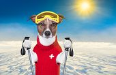 snow skiing dog with red wool sweater poster