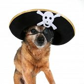 a chihuahua wearing a pirate hat and eye patch poster