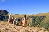 South America Alpaca and llama with Volcano on the background, Pasochoa Ecuador poster
