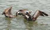 Endangered Brown Pelicans (Pelecanus occidentalis) feeding on the remains of a fisherman's catch. poster