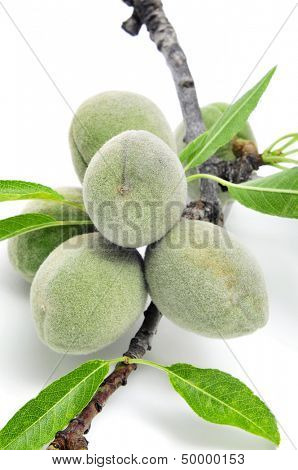 a branch of almond tree with some green almonds on a white background