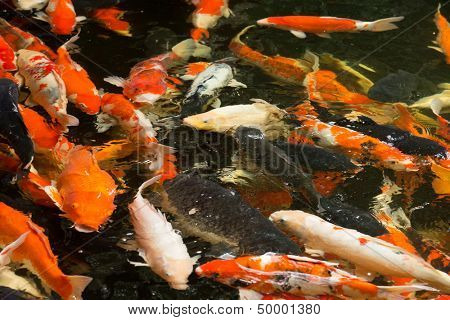 Common carps swimming in water