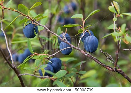 The Berries Of Blueberry Closeup