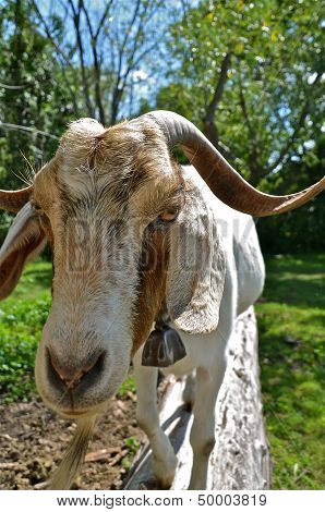 a billy goat standing and staring on a log