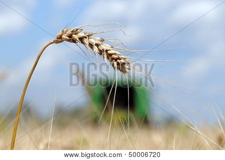 The Ear Of Ripe Wheat Stands In The Field In A Canicular Sunny Day