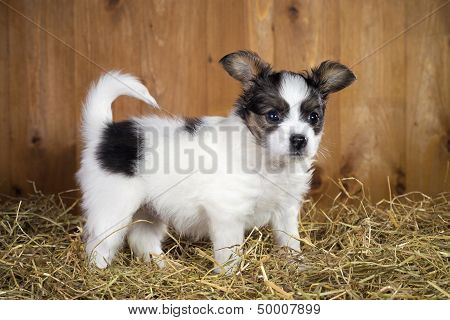 Papillon Puppy Standing On A Straw