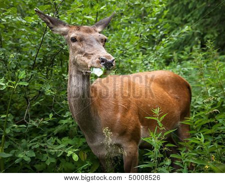 Young Deer In The Bushes
